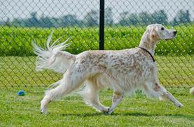 Grooming Jantzen the English Setter (r)