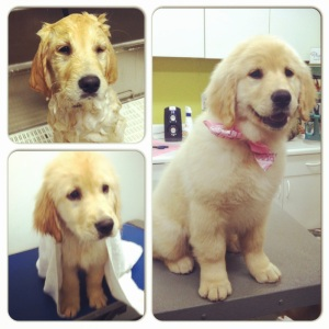 Sundae, a Golden Retriever pup, gets a new look from Rover Stay Over groomer, Katie Hall